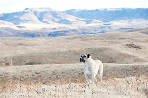 anatolian shepherd dog fearless livestock guardian