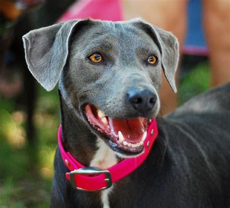 blue lacy razas perros mascotas