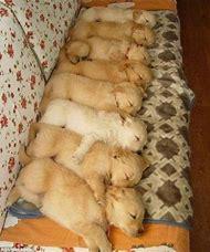 Cute Golden Retriever Puppies Sleeping