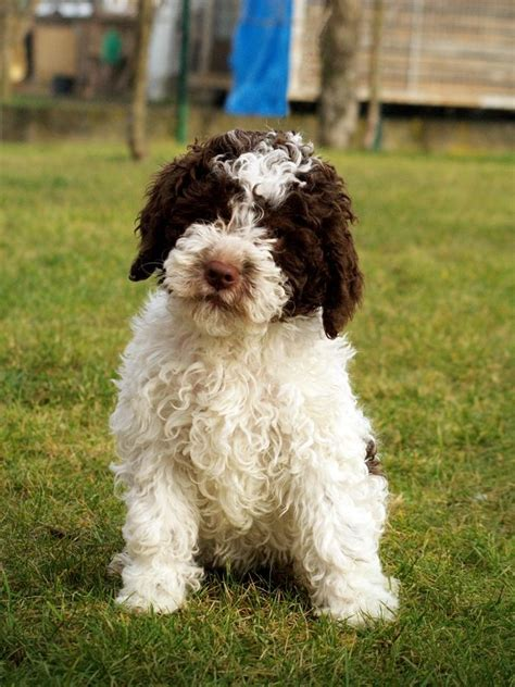lagotto romagnolo puppies funny puppy dog pictures