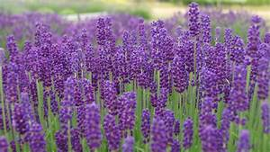 Sequim Lavender Plants: Lavandula Angustifolia