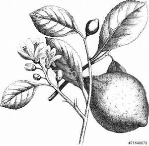 vintage illustration lemon - Sök på Google | Vintage black ...