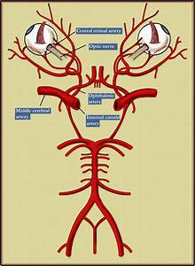 Diagram of main body organs choice image how to guide and refrence diagram showing circle of willis choice image how to guide and refrence ccuart Image collections