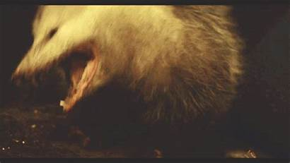 Gifdump Daily Gifs Rat Opossum Surprise Barnorama