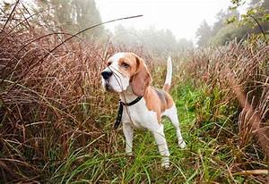 Image Gallery hunting dog breeds