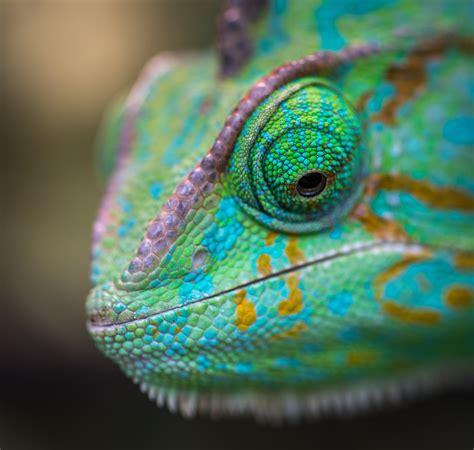 macro shot photography  chameleon  stock photo