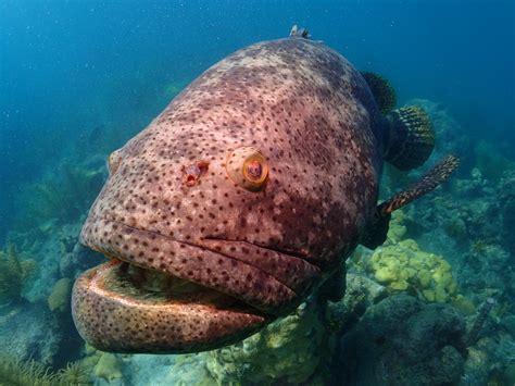 grouper goliath florida keys snorkeling key looe reef advocates save charter yacht species dreamstime folioweekly underwater ocean preview