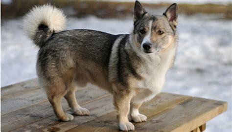 mutated dog gene   treat blindness puppy leaks