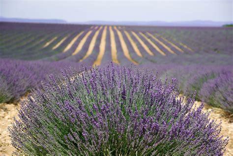 Garten Pflanzen Kaufen by Lavendel Samen Aussaat Mehrj 228 Hrig Kaufen Ab 0 89