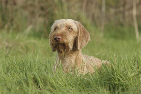 Do Hungarian Wirehaired Vizslas Shed by Wirehaired Vizsla Breed Information