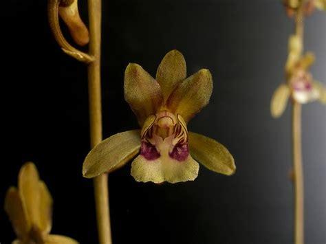 lade per coltivazione le orchidee quot pelle di serpente quot alao associazione