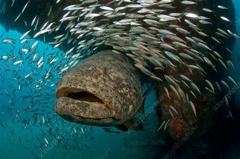 grouper goliath endangered
