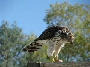 Michigan Hawks Birds of Prey