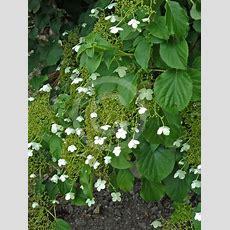 Hydrangea Petiolaris  Climbing Hydrangea Information & Photos