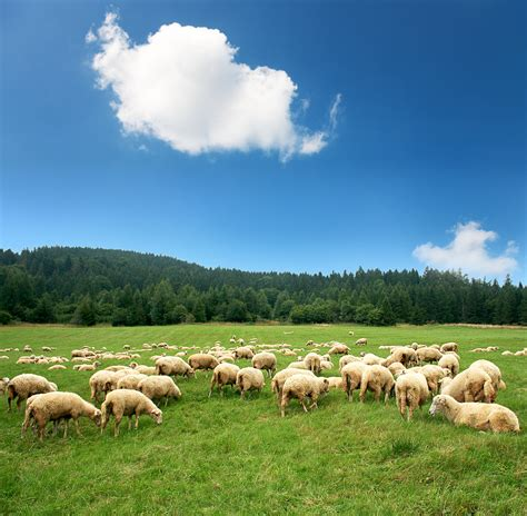shepherd  flock   colorado range tent denver