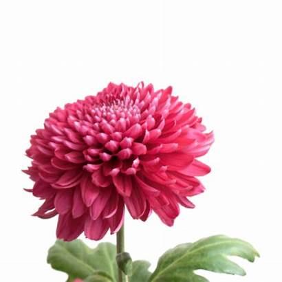 Solo Flower Chrysanthemums Chrysanthemum Flowers Chrysant Per