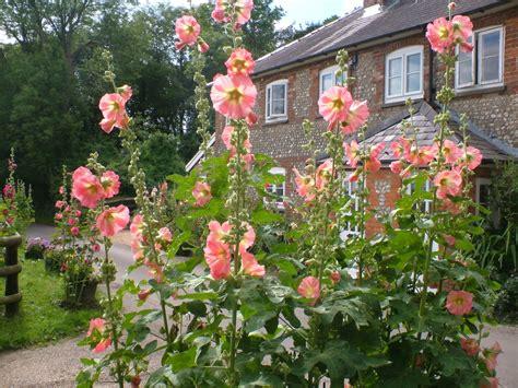 Life Between The Flowers  Hollyhock Flowers ( Alcea Rosea
