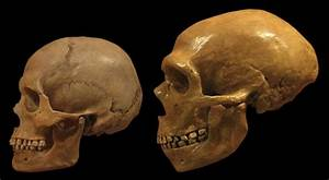 Neanderthal brains grew in a similar way to ours during ...