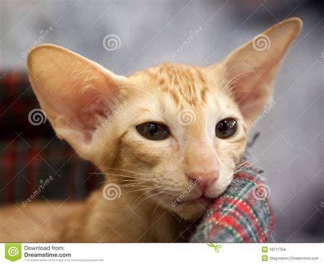 oriental shorthair cat stock images image