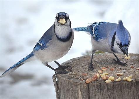 do blue jays like peanuts blue jays in winter photo tips prune those trees garden walk garden talk