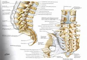 The Supraspinous And Interspinous Ligaments Of The Lumbar