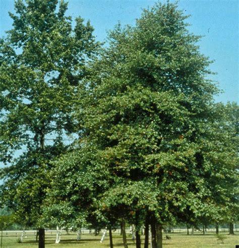 black gum tree crosswater gardens cemetery louisville s premier burial garden plant selection crosswater
