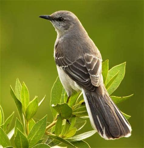 arkansas state mockingbird pictures state birds