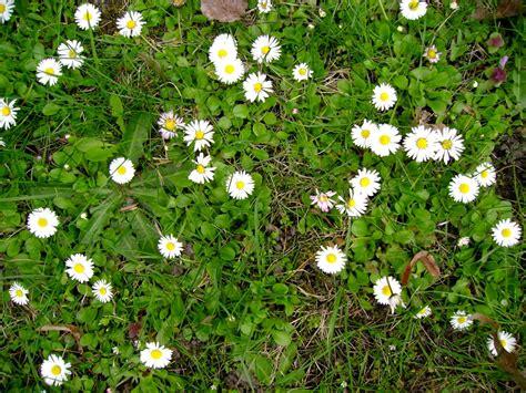 Garten Rasen Pflanzen by Unerw 252 Nschte Pflanzen Im Rasen Bek 228 Mpfen