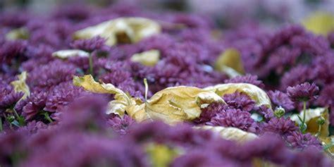 lahr la chrysanthema 2014 a commenc 233 eurojournalist e