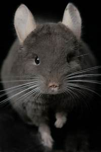 17 Best images about I had to make a Chinchilla board on ...