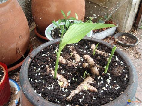 photo curcuma en pot rhizomes