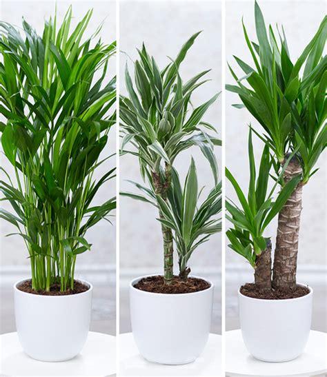Zimmerpflanze Hoch by Zimmerpflanzen Mix Palme 1a Zimmerpflanzen Baldur