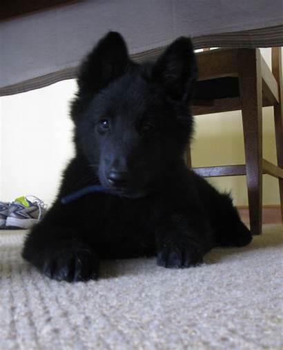 Bear Dog Dogs Bears Reddit Puppy Giant