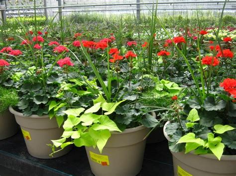 planting geraniums in pots sun container plant combinations plants gt patio planters gt geranium combination