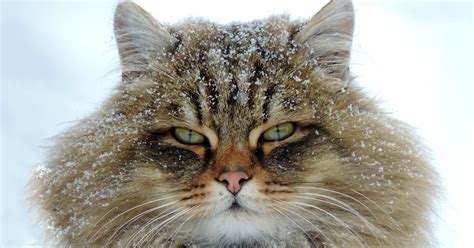"""""""millions"""" Of Majestic Siberian Cats Live In Couple's Farm"""
