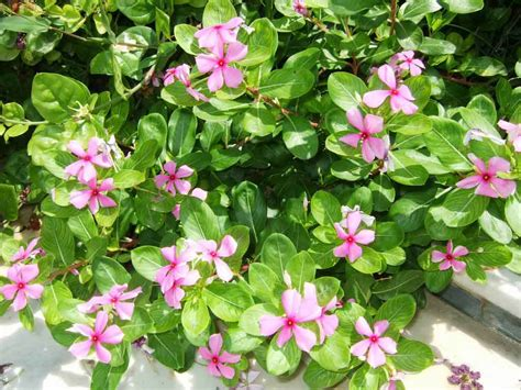 periwinkle plant catharanthus roseus madagascar periwinkle nature cultural and travel photography blog