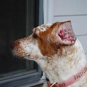 Dog Ear Hematoma Cauliflower Ear