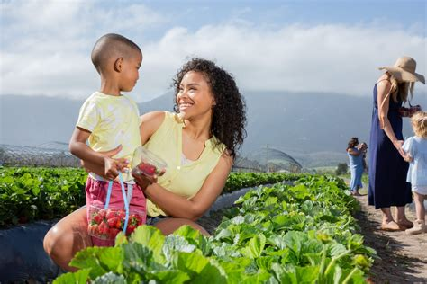 Pick Your Own Strawberries | Activities | Redberry Farm