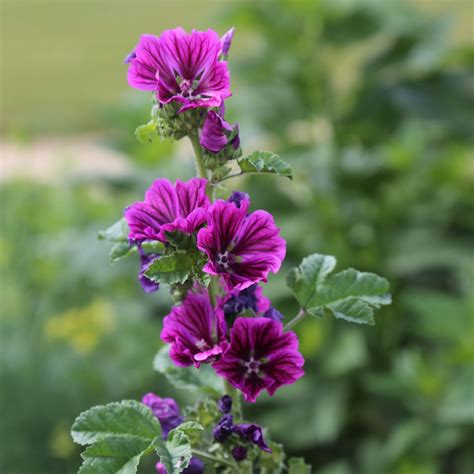 http://www.fermedesaintemarthe.com/A-14414-mauve-plant-x-1.aspx