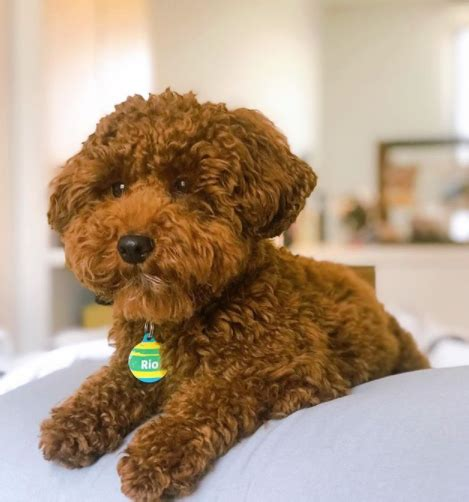 45 Most Popular Toy Poodle Dog Names Pupstoday