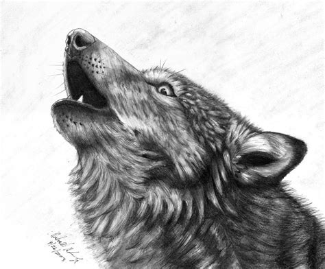 drawn howling wolf cry pencil   color drawn howling