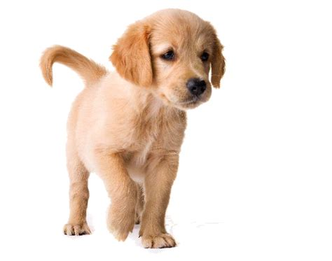 dog food   golden retriever puppies adults