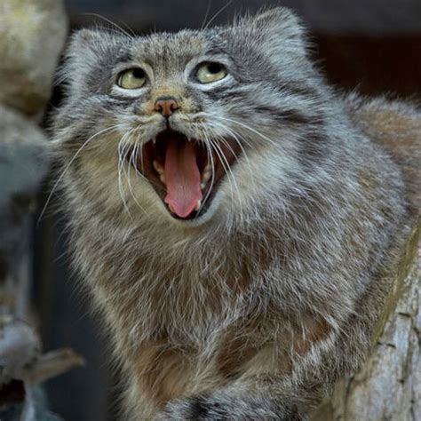 Pallas's Cat Is The Greatest Animal Ever Created Just