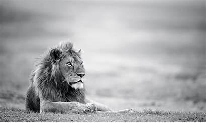 Lion Wallpapersafari