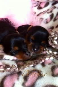 Newborn Yorkie Puppies