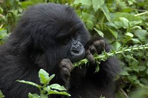 killingapesincongo [licensed for non-commercial use only ...
