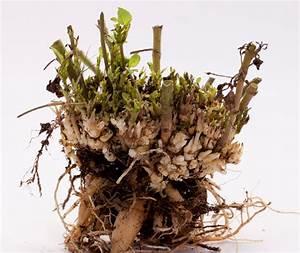 Hortensien überwintern Im Keller : dahlien im keller berwintern das sollten sie beachten ~ Lizthompson.info Haus und Dekorationen