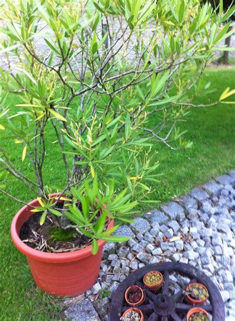 oleander richtig schneiden oleander richtig schneiden so geht s chip