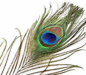 """Peacock Tail Eye Feathers 8-12"""""""