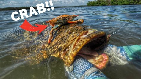 grouper goliath fly